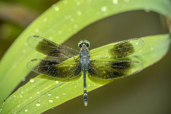 Amazon Dragon Fly Poster