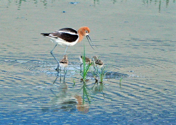 American Avocet With Young Poster