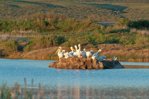 American White Pelicans On Small Island Poster