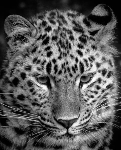 Amur Leopard In Black And White Poster