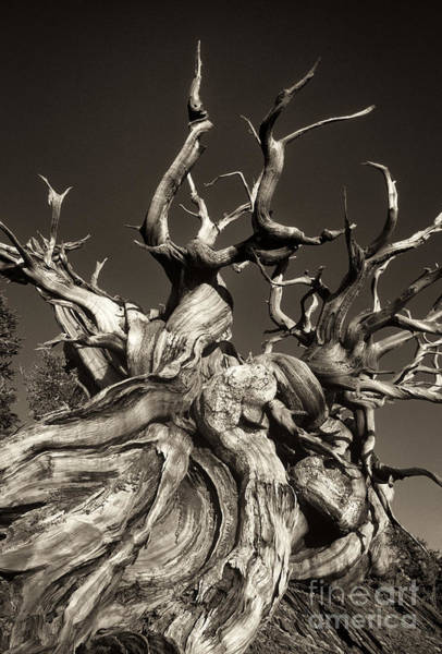 Ancient Bristlecone Pine In Black And White Poster