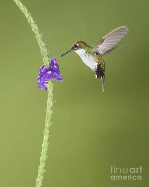 Andean Emerald Hummingbird Poster