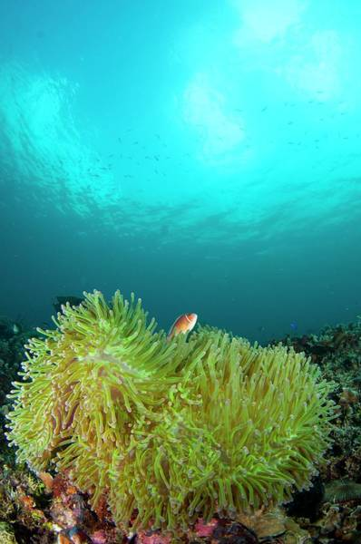 Anemonefish In Clear Calm Water Poster