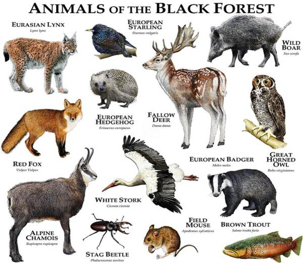 Animals Of The Black Forest Poster