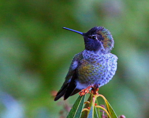 Poster featuring the photograph Annas Hummingbird by Randy Hall
