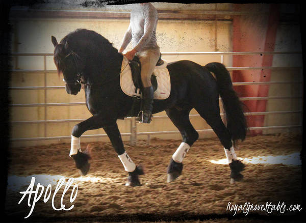 Apollo Friesian Stallion Poster