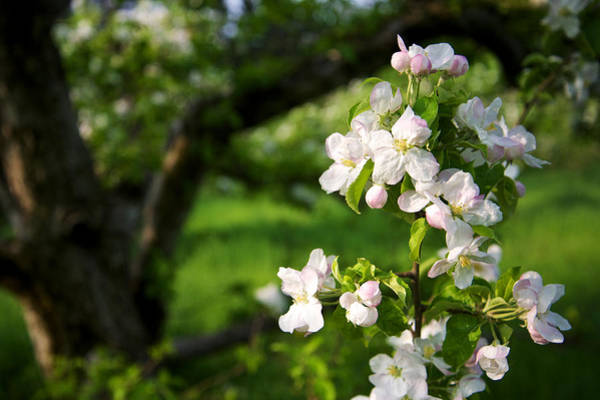 Apple Blossoms In The Orchard Poster