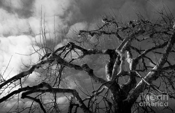 Apple Tree Bw Poster