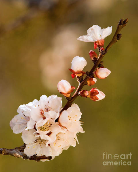 Apricot Blossom At Sunrise Poster