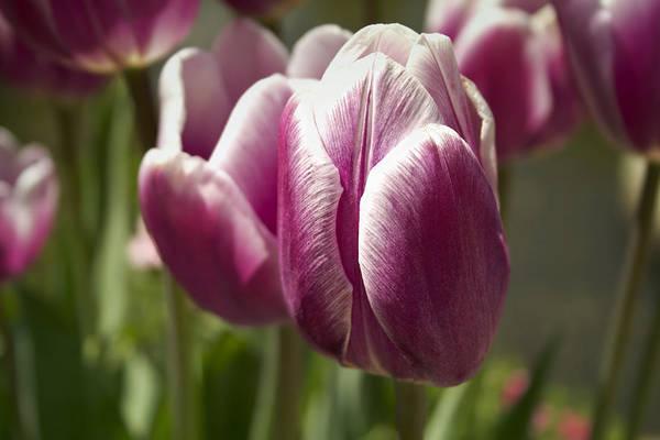 Arboretum Tulips Poster