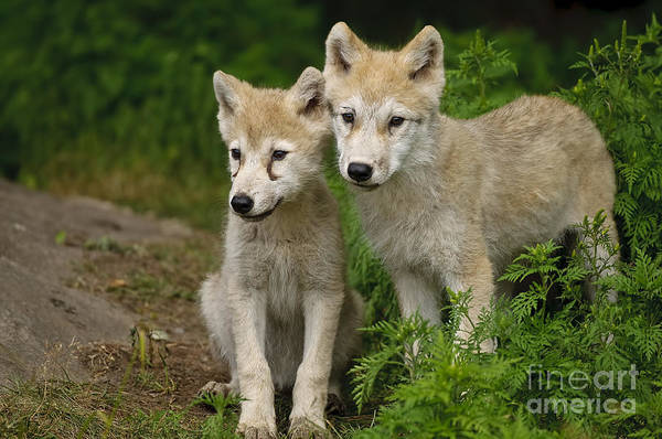Arctic Wolf Puppies Poster