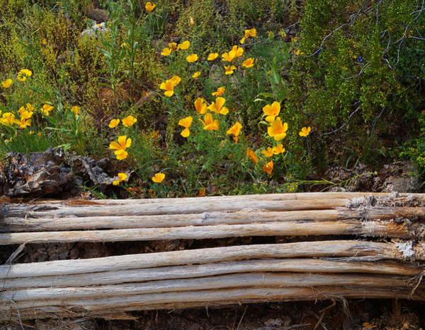 Arizona Poppy Poster