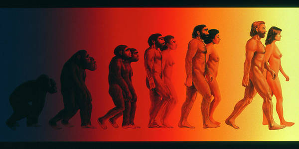 Artwork Of The Stages In Human Evolution Poster