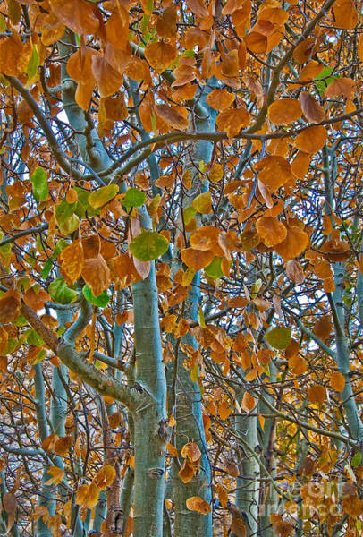 Poster featuring the photograph Aspen Leaves In The Fall by Mae Wertz
