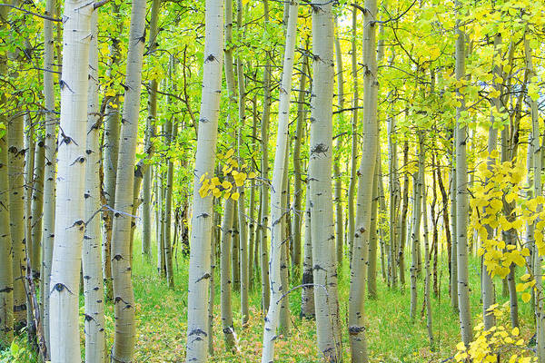 Aspen Tree Forest Autumn Time  Poster