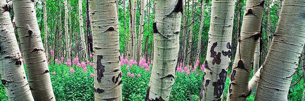 Aspen Trees In A Grove On The Slope Poster