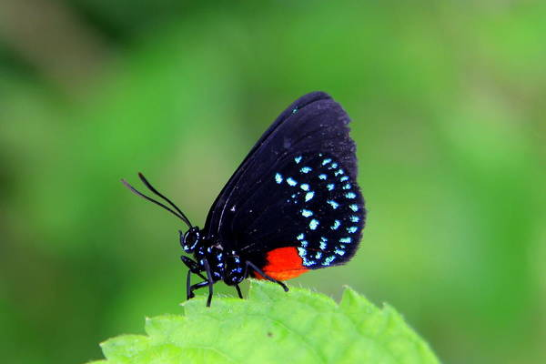 Atala Butterfly Poster