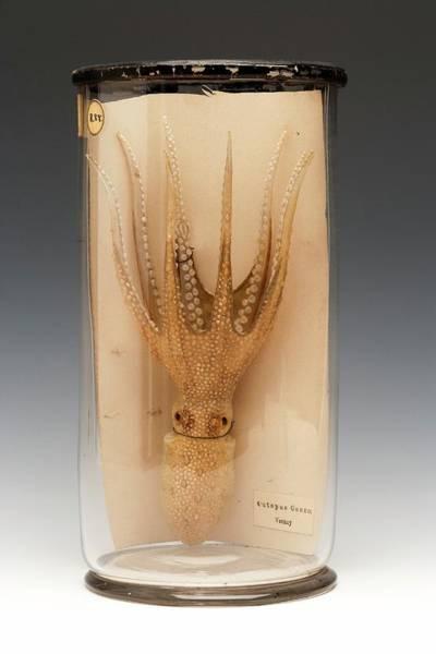 Atlantic Warty Octopus Poster