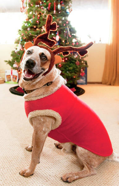 Auggie The Dog With Reindeer Outfit Poster