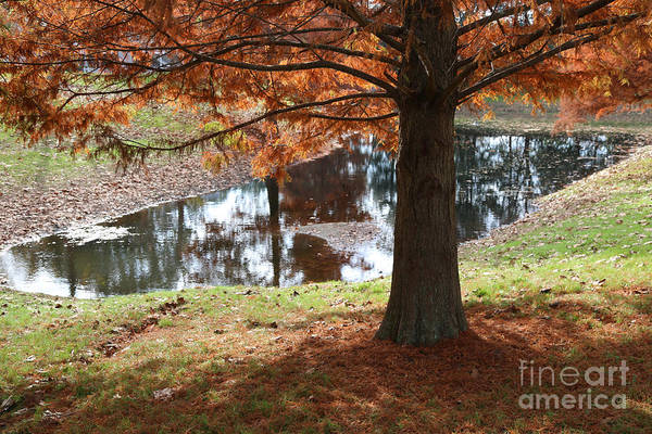 Autumn Cypress By Pond Poster
