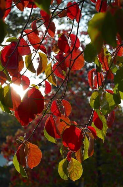 Autumn Dogwood In Evening Light Poster