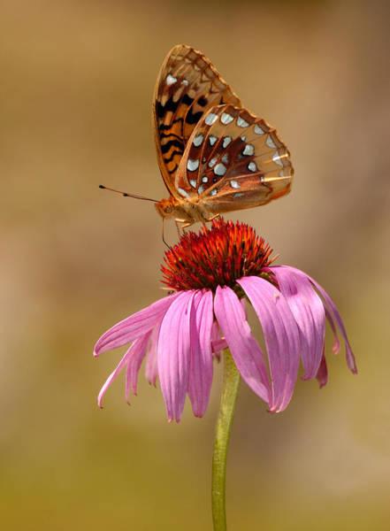 Autumn Fritillary Butterfly Poster