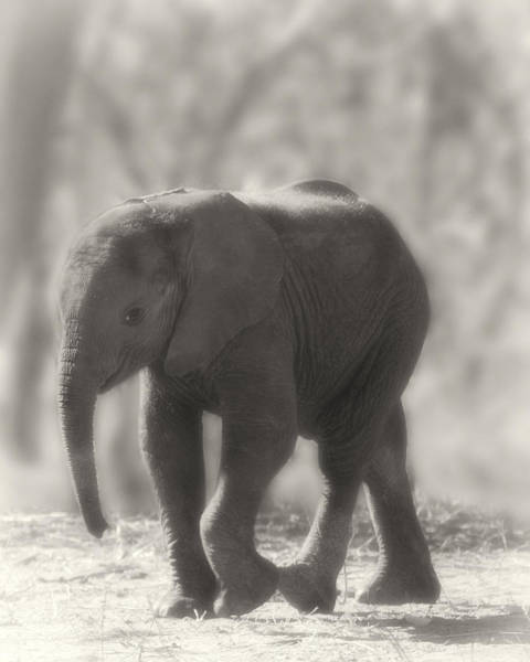 Poster featuring the photograph Baby Elephant Sepia by Gigi Ebert