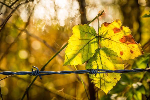 Backlit Leaf. Poster