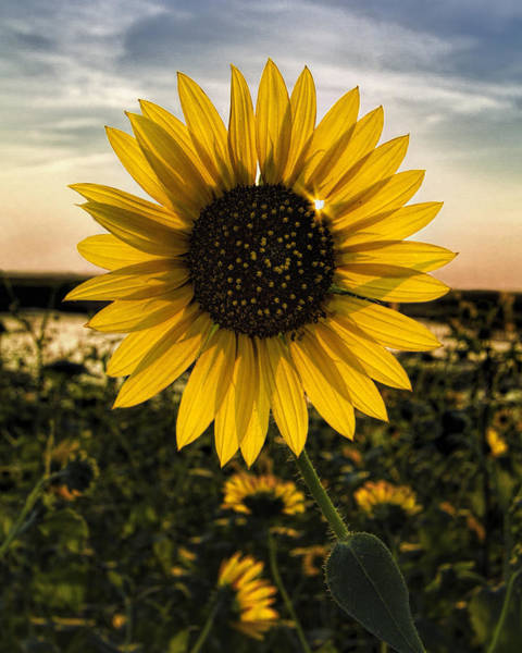 Backlit Sunflower Poster