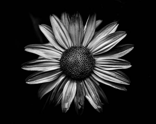 Poster featuring the photograph Backyard Flowers In Black And White 18 by Brian Carson