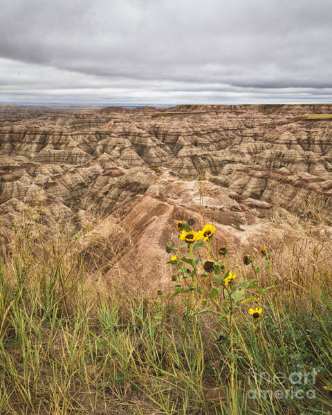 Poster featuring the photograph Badlands Wild Sunflowers by Sophie Doell