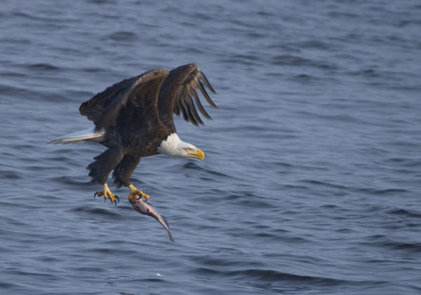 Bald Eagle With A Fish Poster