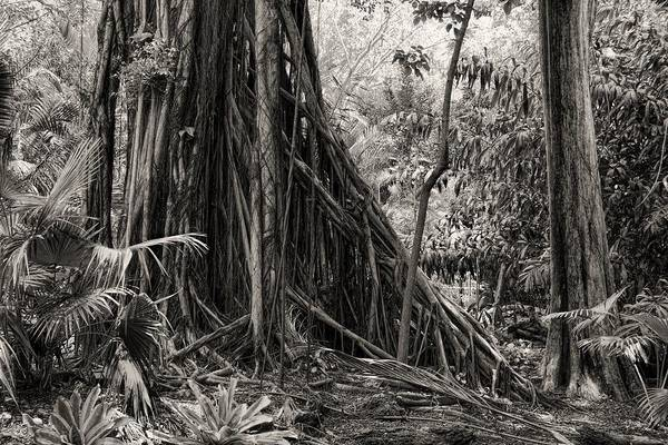 Strangler Fig And Cypress Tree Poster