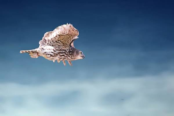 Barking Owl In Flight Poster