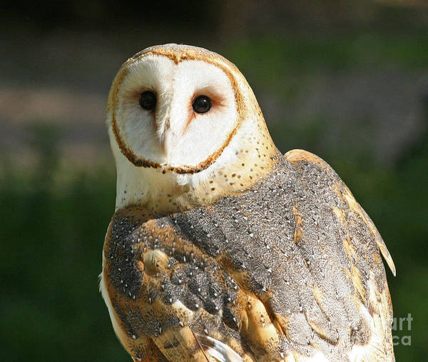 Barn Owl In Bright Sun Poster