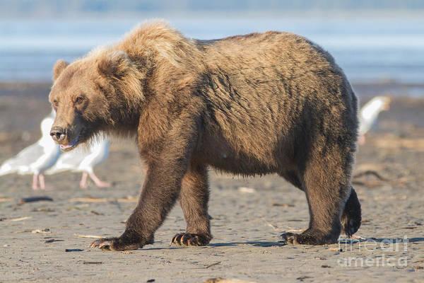 Beach Bear Poster