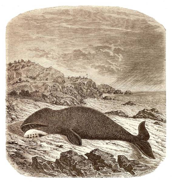 Beached Or Stranded Northern Whale Poster