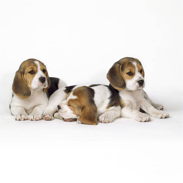 Beagle Puppies, Row Of Three, Second Poster