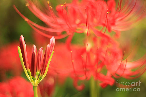 Beautiful Amaryllis Flower Red Spider Lily Aka Resurrection Lily Poster