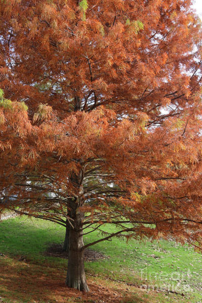 Beautiful Autumn Cypress Trees Poster