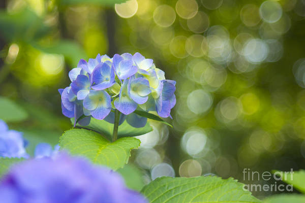 Beautiful Violet Hydrangea With Green Leaves And Bokeh Lights Poster