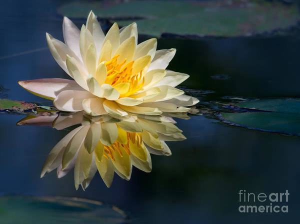 Beautiful Water Lily Reflection Poster