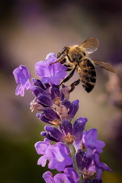 Honeybee Working Lavender Poster