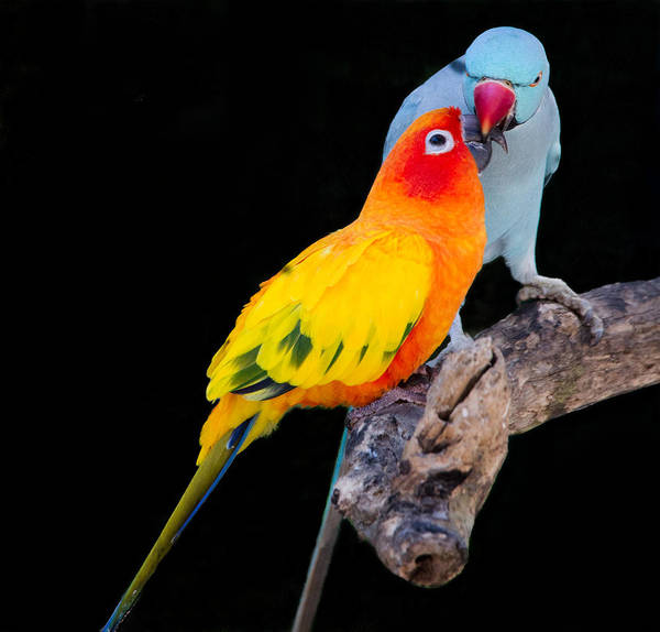 Sun Conure And Ring Neck Parakeet 2 Poster