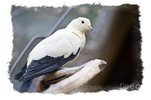 Bicolor Pigeon Poster