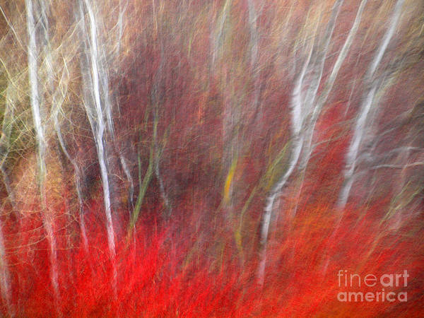 Birch Trees Abstract Poster