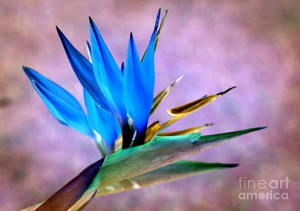 Bird Of Paradise Bloom Poster