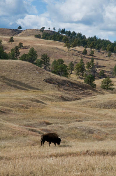 Bison Grazing Custer State Park South Poster