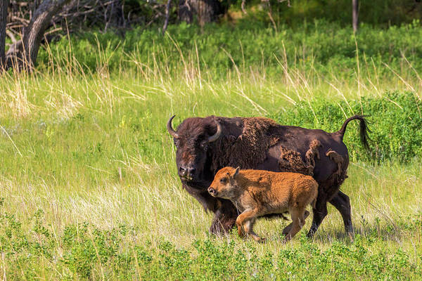 Bison Herd With Calves In Custer State Poster