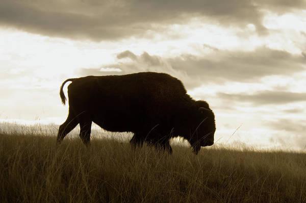 Bison Wlking In Grasslands Poster